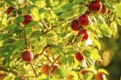 Appelen op boom. Stock Afbeeldingen