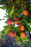Appelen op boom stock afbeeldingen