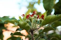 Appelen op boom stock foto
