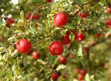 Appelen op boom in boomgaard Stock Afbeelding