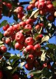 Appelen op de appelboom Royalty-vrije Stock Fotografie