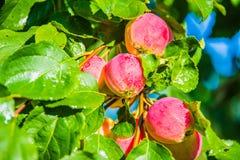 Appelen op de boom Stock Foto