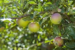 Appelen op de boom Stock Afbeelding