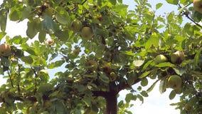 Appelen op een boom stock video