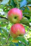 Appelen op een boom Stock Fotografie