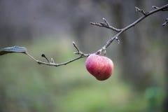 Appelen op een boom in december Stock Fotografie