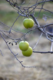 Appelen op een boom in december Royalty-vrije Stock Afbeeldingen