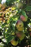 Appelen op een boomtak Stock Foto
