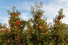 Appelen op gecultiveerde appelbomen royalty-vrije stock foto