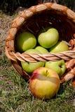 Appelen van de mand worden ontwikkeld die Royalty-vrije Stock Afbeeldingen