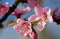 Appelenboom blosson Royalty-vrije Stock Afbeelding