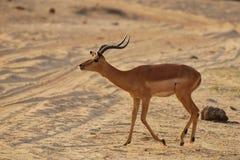 Appeler d'Impala (melampus d'Aepyceros) Photos libres de droits