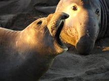 Appeler femelle de joint d'éléphant en Front Of Male Image stock