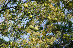 Appels στο δέντρο Στοκ εικόνα με δικαίωμα ελεύθερης χρήσης