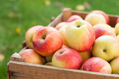 Appels in a crate. A lot of ripe apples in a wooden crate Royalty Free Stock Photos