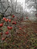 Appeltree Royaltyfria Foton