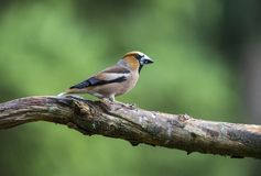 Appelvink, Hawfinch, Coccothraustes Coccothraustes lizenzfreie stockfotos