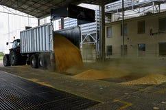 Appena cereale raccolto dentro un rimorchio Il grano ha versato dal rimorchio in un silo per elaborare immagine stock libera da diritti