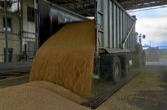 Appena cereale raccolto dentro un rimorchio Il grano ha versato dal rimorchio in un silo per elaborare fotografia stock libera da diritti