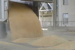 Appena cereale raccolto dentro un rimorchio Il grano ha versato dal rimorchio in un silo per elaborare immagini stock