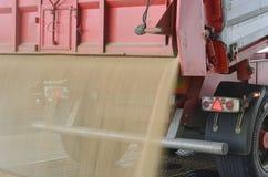 Appena cereale raccolto dentro un rimorchio Il grano ha versato dal rimorchio in un silo per elaborare immagine stock