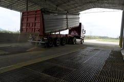 Appena cereale raccolto dentro un rimorchio Il grano ha versato dal rimorchio in un silo per elaborare fotografia stock