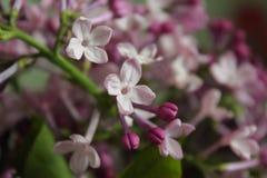 Appena lillà di fioritura fotografie stock