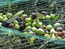 Appena olive selezionate sulla rete durante il tempo di raccolto La Toscana, Italia Immagini Stock Libere da Diritti