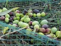 Appena olive selezionate sulla rete durante il tempo di raccolto La Toscana, Italia Fotografia Stock Libera da Diritti