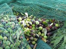 Appena olive selezionate sulla rete durante il tempo di raccolto La Toscana, Italia Immagine Stock Libera da Diritti