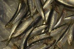Appena pesce pescato sui pezzi del ghiaccio Frutti di mare freschi Fotografia Stock Libera da Diritti
