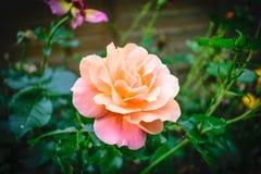 Appena un fiore Immagini Stock