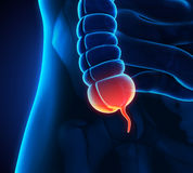 Appendix Pain Illustration. 3D render Stock Images