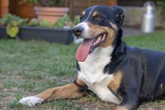 Appenzell bydło pies na zielonej trawie fotografia stock