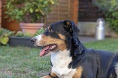 Appenzell bydło pies na zielonej trawie fotografia royalty free