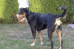 Appenzell bydło pies na zielonej trawie obraz royalty free