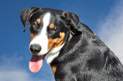 Appenzell cattle dog Stock Photo