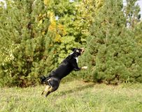 Appenzell cattle dog running on the green grass.  Royalty Free Stock Photos