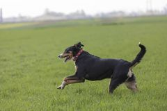 Appenzell cattle dog running on the green grass.  royalty free stock photo