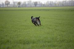 Appenzell cattle dog running on the green grass.  royalty free stock image