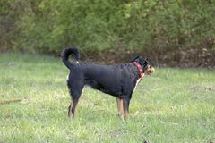Appenzell cattle dog running on the green grass.  royalty free stock photography