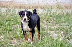 Appenzell cattle dog running on the green grass Stock Photography