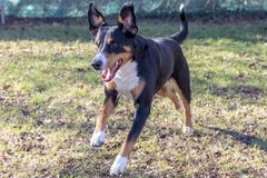 Appenzell cattle dog running on the green grass.  stock image