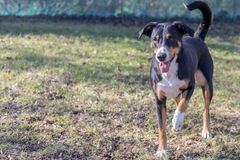 Appenzell cattle dog running on the green grass.  royalty free stock images