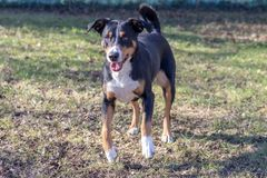 Appenzell cattle dog running on the green grass.  stock photo