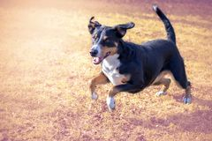 Appenzell cattle dog running on the green grass.  stock images