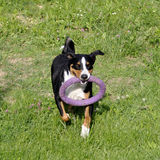 Appenzell cattle dog running on the green grass with rubber ring Stock Images