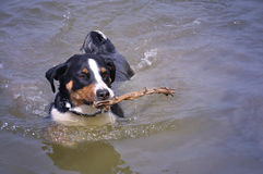 Appenzell cattle dog swimming with a stick in her mouth Royalty Free Stock Photography