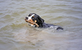 Appenzell cattle dog swimming with a stick in her mouth Stock Photography