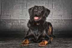 Appenzell sheepdog. A Appenzell sheepdog mixed breed stock photography